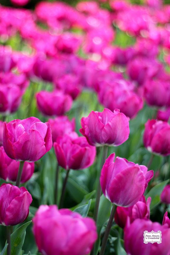tulipani_fucsia_parco_sigurta