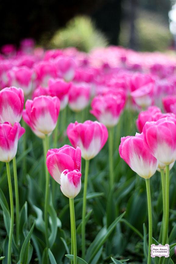 tulipani_rosa_parco_sigurta_giardino