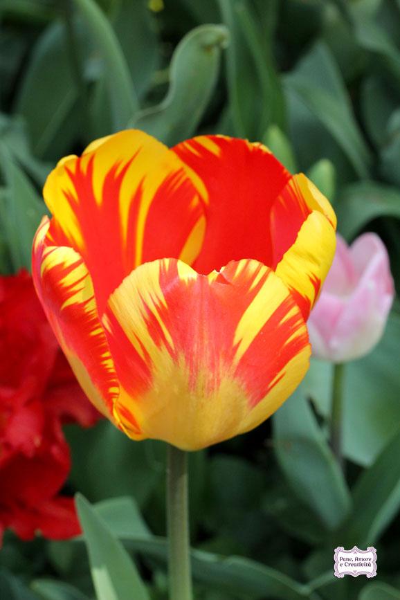 tulipano_giallo_rosso_parco_sigurta