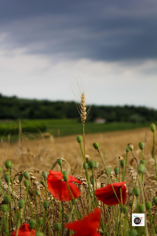 campo-di-grano-e-papaveri